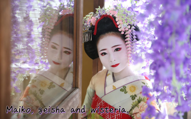 Maiko, Geisha and wisteria. The wisteria pose is elegant, cool and very popular. There are more types of photos this year!!!